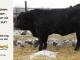 super-guppie-bull-for-sale-black-angus-gelbvieh-2287_8396