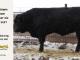 super-guppie-bull-for-sale-black-angus-gelbvieh-2287_8397