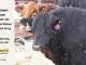 super-guppie-bull-for-sale-black-angus-gelbvieh-5530_2343_8386