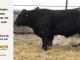 super-guppie-bull-for-sale-black-angus-gelbvieh-5530_8385