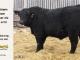 super-guppie-bull-for-sale-black-angus-gelbvieh-5578_8366