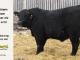 super-guppie-bull-for-sale-black-angus-gelbvieh-5578_8367