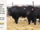 super-guppie-bull-for-sale-black-angus-gelbvieh-5613_2287_8370