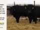 super-guppie-bull-for-sale-black-angus-gelbvieh-5613_2287_8371