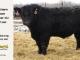 super-guppie-bull-for-sale-black-angus-gelbvieh-5613_8347