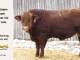 super-guppie-bull-for-sale-red-angus-gelbvieh-2106_8338