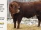 super-guppie-bull-for-sale-red-angus-gelbvieh-2106_8339