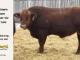 super-guppie-bull-for-sale-red-angus-gelbvieh-2106_8353
