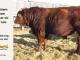 super-guppie-bull-for-sale-red-angus-gelbvieh-2106_8853