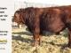 super-guppie-bull-for-sale-red-angus-gelbvieh-2106_8854