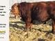 super-guppie-bull-for-sale-red-angus-gelbvieh-2106_8855