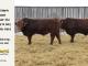 super-guppie-bull-for-sale-red-angus-gelbvieh-2273_2321_8387