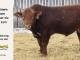 super-guppie-bull-for-sale-red-angus-gelbvieh-2273_8382