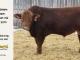 super-guppie-bull-for-sale-red-angus-gelbvieh-2273_8383