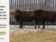 super-guppie-bull-for-sale-red-angus-gelbvieh-2296_2395_8373