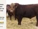 super-guppie-bull-for-sale-red-angus-gelbvieh-2296_8340