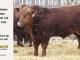 super-guppie-bull-for-sale-red-angus-gelbvieh-2312_8381