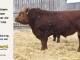 super-guppie-bull-for-sale-red-angus-gelbvieh-2312_8392