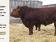 super-guppie-bull-for-sale-red-angus-gelbvieh-2312_8393