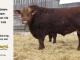 super-guppie-bull-for-sale-red-angus-gelbvieh-2312_8394
