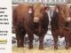 super-guppie-bull-for-sale-red-angus-gelbvieh-2314_2394_8400
