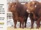 super-guppie-bull-for-sale-red-angus-gelbvieh-2314_2394_8402