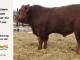 super-guppie-bull-for-sale-red-angus-gelbvieh-2316_8388