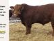 super-guppie-bull-for-sale-red-angus-gelbvieh-2316_8390