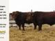 super-guppie-bull-for-sale-red-angus-gelbvieh-2321_2365_8343