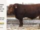super-guppie-bull-for-sale-red-angus-gelbvieh-2321_8325