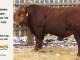 super-guppie-bull-for-sale-red-angus-gelbvieh-2321_8346