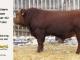 super-guppie-bull-for-sale-red-angus-gelbvieh-2321_8358