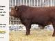 super-guppie-bull-for-sale-red-angus-gelbvieh-2321_8359