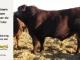 super-guppie-bull-for-sale-red-angus-gelbvieh-2321_8859
