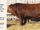 super-guppie-bull-for-sale-red-angus-gelbvieh-2321_8865