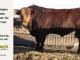 super-guppie-bull-for-sale-red-angus-gelbvieh-2341_8862