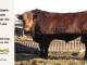super-guppie-bull-for-sale-red-angus-gelbvieh-2341_8863