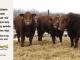 super-guppie-bull-for-sale-red-angus-gelbvieh-2343_2312_2341_8341