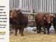 super-guppie-bull-for-sale-red-angus-gelbvieh-2343_2314_2394_8401