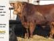 super-guppie-bull-for-sale-red-angus-gelbvieh-2343_8856
