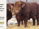 super-guppie-bull-for-sale-red-angus-gelbvieh-2357_2441_8391