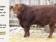 super-guppie-bull-for-sale-red-angus-gelbvieh-2365_8336