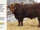 super-guppie-bull-for-sale-red-angus-gelbvieh-2365_8345
