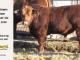 super-guppie-bull-for-sale-red-angus-gelbvieh-2390_8857