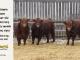 super-guppie-bull-for-sale-red-angus-gelbvieh-2394_2365_2106_8333