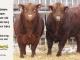 super-guppie-bull-for-sale-red-angus-gelbvieh-2394_2365_8332