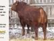 super-guppie-bull-for-sale-red-angus-gelbvieh-2394_8395