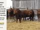 super-guppie-bull-for-sale-red-angus-gelbvieh-2395_2343_2314_2394_8399