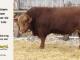 super-guppie-bull-for-sale-red-angus-gelbvieh-2395_8350