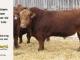 super-guppie-bull-for-sale-red-angus-gelbvieh-2395_8352